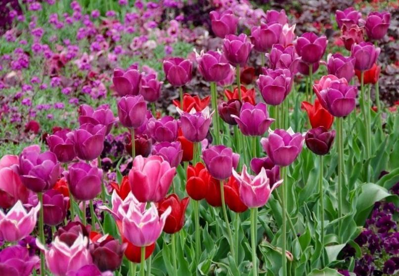 Как посадить луковицы тюльпанов