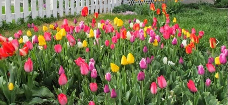 Красивое цветение тюльпанов
