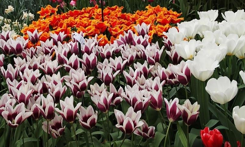 Пора цветения тюльпанов