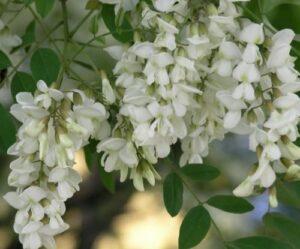 Душистые гроздья цветущей акации