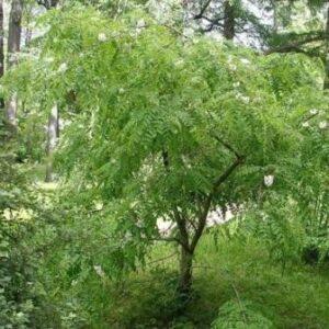 Молодое дерево акации белой