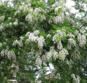 Великолепное цветение белой акации