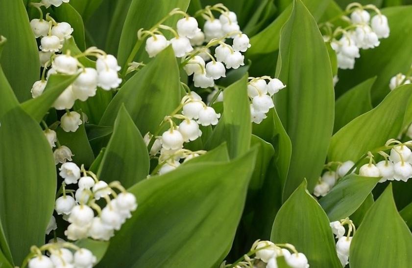 Цветок ландыш майский