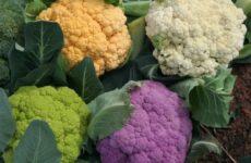 Секреты успешного выращивания цветной капусты