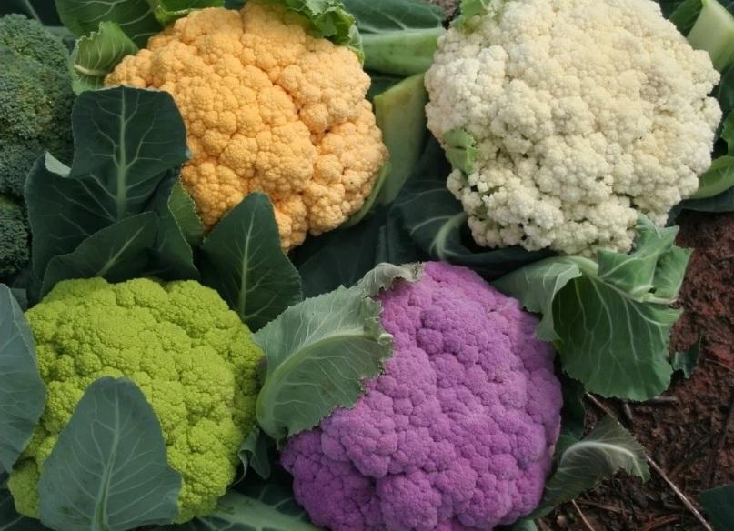 Условия выращивания цветной капусты