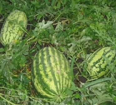 Защита арбузов от болезней и вредителей