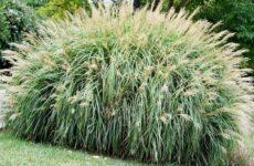 Секреты успешного выращивания мискантусов