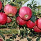 Как правильно выбрать саженец яблони