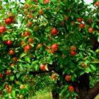 Выбор сортов яблони для средней полосы