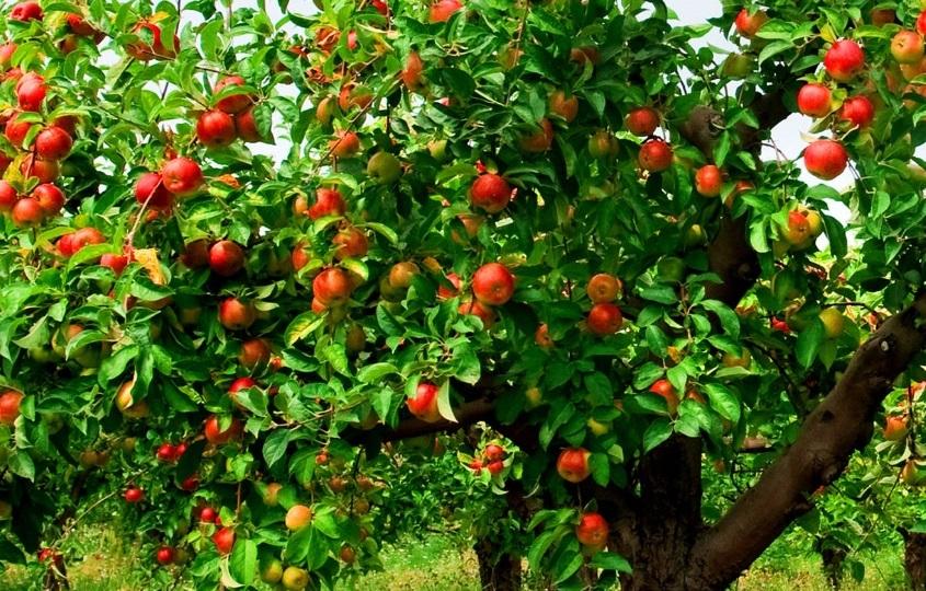Лучшие сорта яблонь для средней полосы
