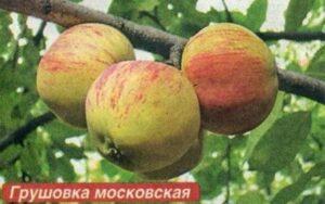 Сорт яблони Грушевка московская