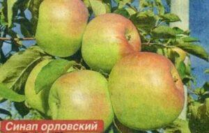 Сорт яблони Синап орловский