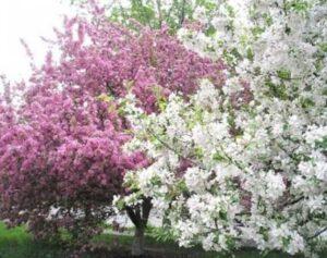 Восхитительное цветение яблони