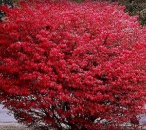 Бересклет Крылатый осенью