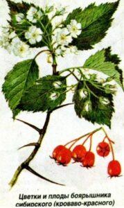 Цветки и плоды боярышника кроваво-красного