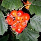 Выращивание сибирского кроваво-красного боярышника
