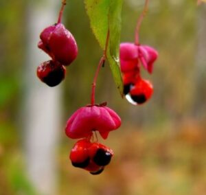 Раскрывшиеся плоды бересклета