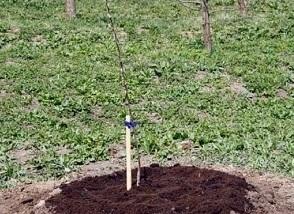 Рекомендации по уходу за молодой яблоней