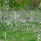 Полезные рекомендации по уходу за молодыми яблонями