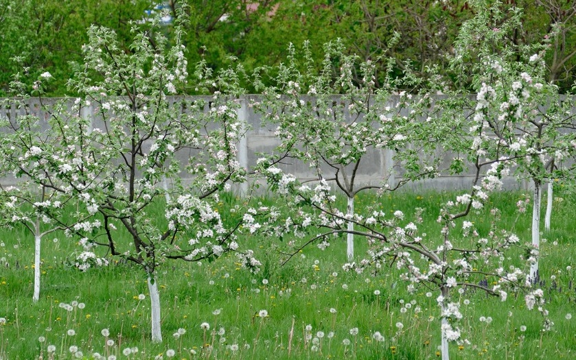 Уход за яблоней после посадки