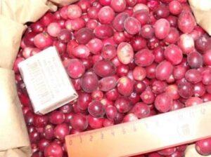 Урожай крупноплодной клюквы