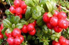 Что нужно знать для успешного выращивания клюквы