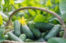 Как вырастить высокий урожай огурцов в открытом грунте