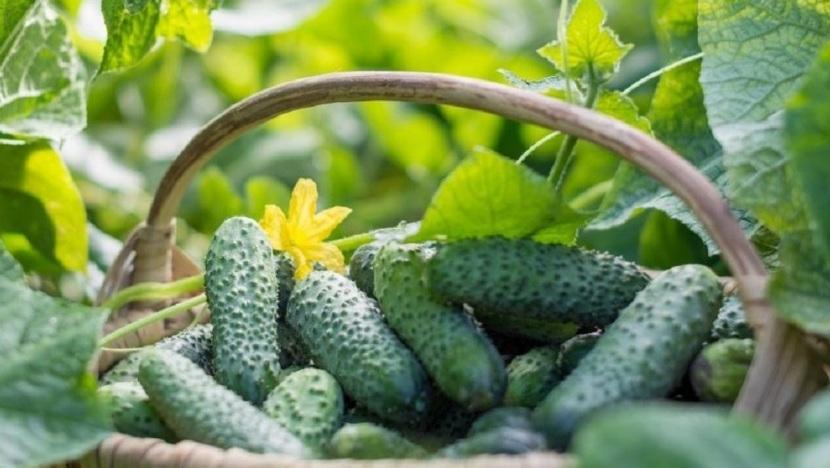 Выращивание огурцов и уход в открытом грунте