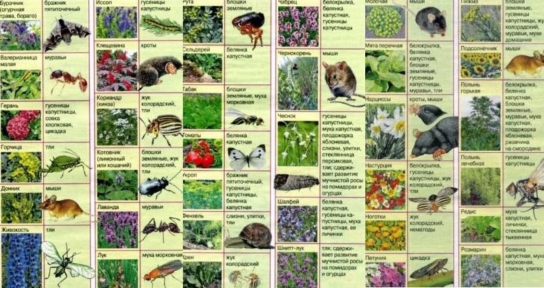 Растения отпугивающие вредителей