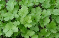 Растения-репелленты, отпугивающие вредителей на даче