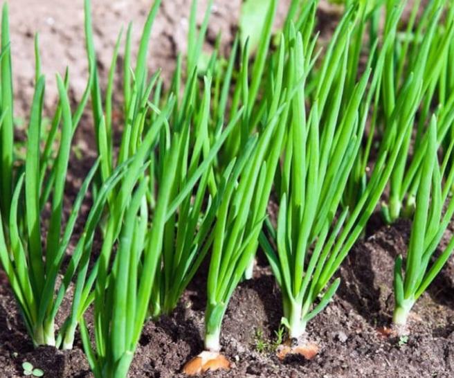 Репчатый лук в процессе вегетации