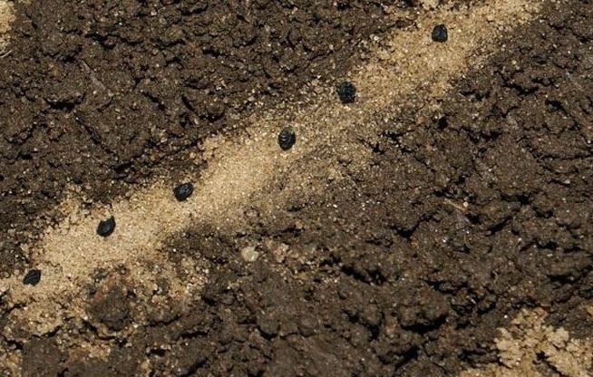 Семена лука-чернушки в бороздке