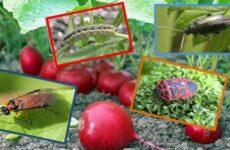Как бороться с вредителями редиса