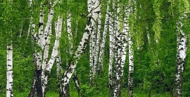 Березовый лес весной