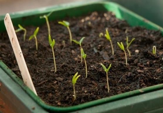 Всходы томатов в плодородной почве