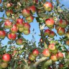 Мероприятия по уходу за яблонями
