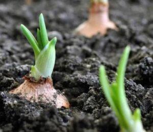 Подготовка почвы к посадке лука