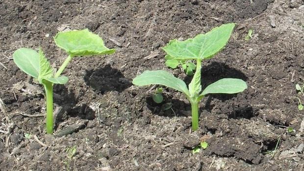 Сорта огурцов устойчивые к неблагоприятным условиям