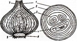 Строение луковицы репчатого лука