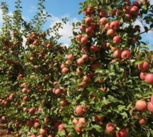 Удобрение под яблони