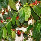 Рекомендации по выращиванию кофейного дерева в домашних условиях