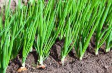 Полезные советы по выращивание репчатого лука из севка