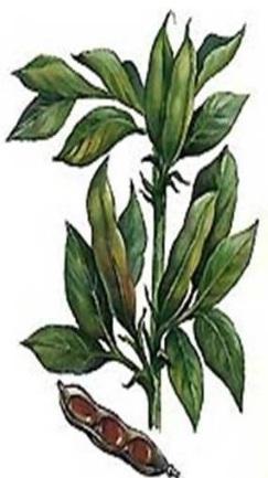 Ботаническое описание бобов