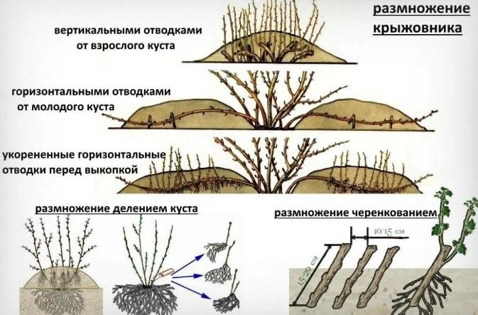 Способы размножения крыжовника