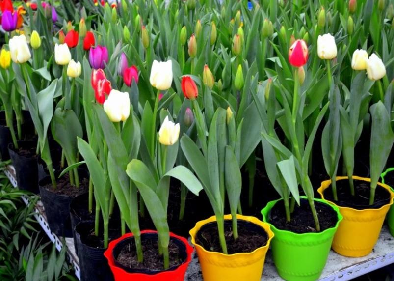 Этап выгонки тюльпанов