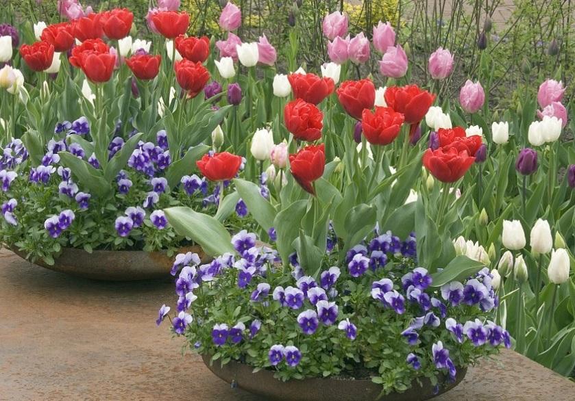 Тюльпаны - украшение весеннего сада