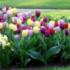 Вы уверены, что правильно ухаживаете за тюльпанами