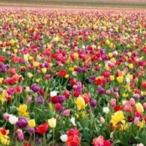 Уход за участком с посадками тюльпанов
