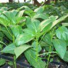 Полезные советы по выращиванию рассады перца