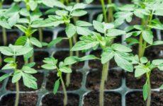 Томаты — выращивание рассады